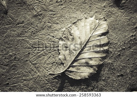 Birch leaf on beach sand with unusual patterns in monochrome. - stock photo