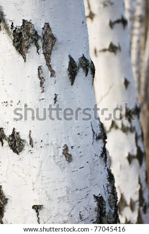 Birch stems, selective focus on stem in the foreground - stock photo