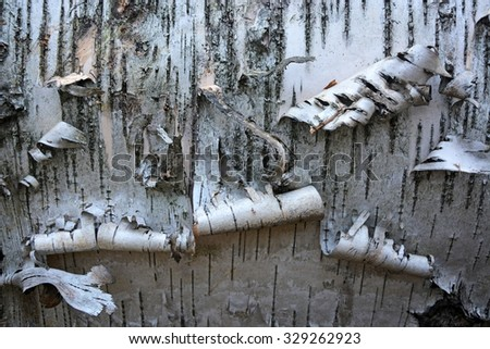 Birch tree bark as a background - stock photo