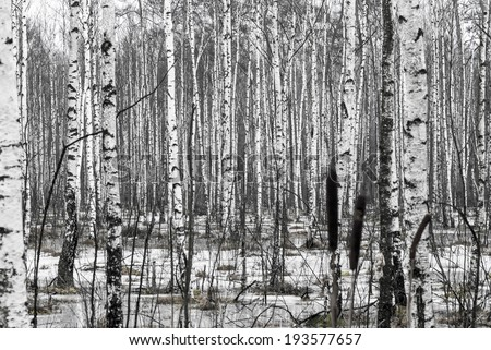 Birch tree forest at spring. - stock photo