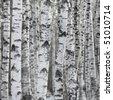Birch Tree Forest, Large Aspen Pattern Background Copy Space   - stock photo
