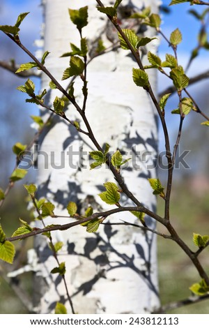Birch tree in spring with leaves buds - stock photo