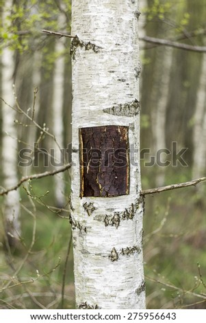 Birch tree with a square of bark cut out of the trunk - stock photo