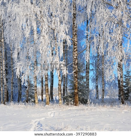 Birch trees and fir trees in rime on a clear winter day - stock photo