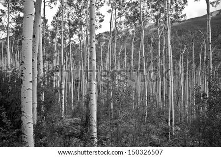 Birch trees, Aspen Colorado - stock photo