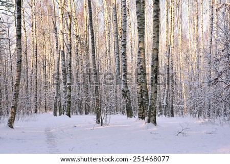 Birch trees covered with snow in winter park - stock photo