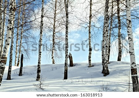 Birch trees in a forest against the background of snow, blue sky and white clouds - stock photo
