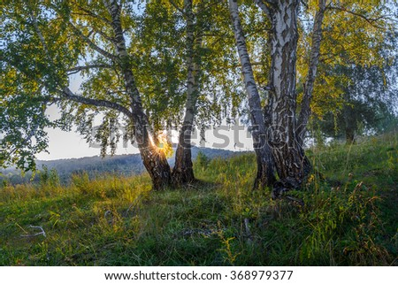 Birch trees in summer forest at sunset - stock photo
