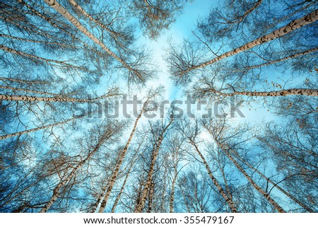 birch trees in the forest with no leaves beautiful sky with clouds low angle - stock photo