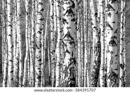 birch trees trunks - black and white natural background - stock photo