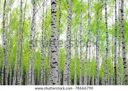 birch trees with lush foliage - stock photo