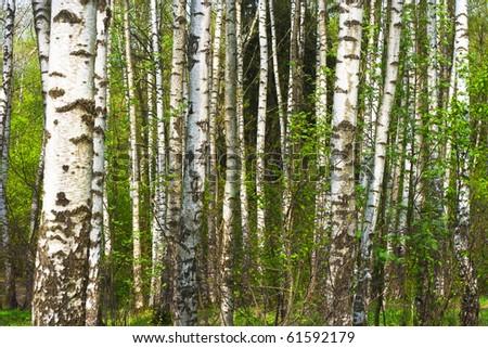 Birch trunks - stock photo