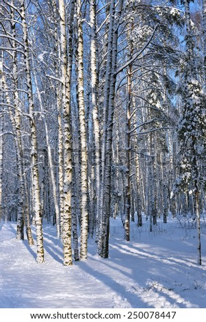 Birch trunks covered with snow in winter park.  - stock photo