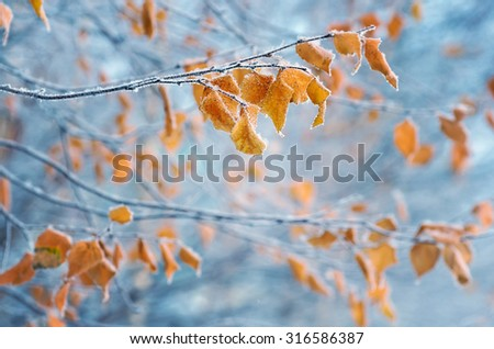 Birch with yellow leaves in frost - stock photo