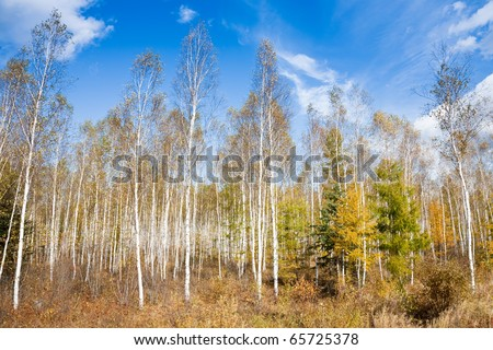 Birch woods in autumn day. - stock photo