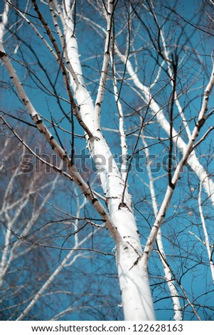 birches against the blue sky - stock photo