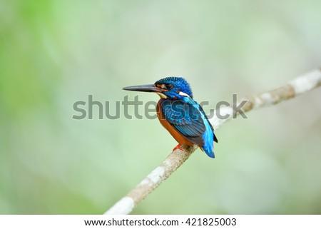 Bird (Blue-eared Kingfisher) , Thailand - stock photo