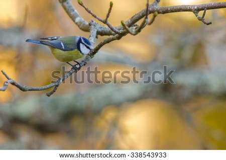 Bird Blue Tit (Parus caeruleus) sitting in a tree in winter time - stock photo