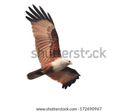 bird (Brahminy Kite) showing wing spread Isolated on white background - stock photo