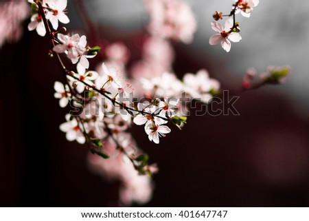 Bird cherry blooming tree, spring blooming garden, nature, sunny day. Abstract blurred background. Springtime  - stock photo