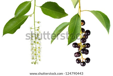 bird cherry branches with flowers and berries isolated on a white background - stock photo