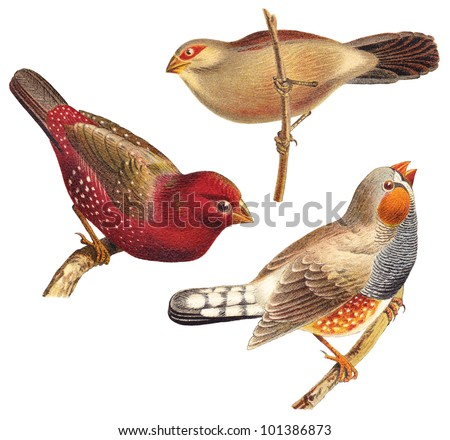 Bird collection - Red Munia (Amandava amandava), Black rumped Waxbill (Estrilda troglodytes), Zebra Finch (Taeniopygia guttata) / vintage illustration from Meyers Konversations-Lexikon 1897 - stock photo