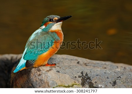 Bird Common Kingfisher sitting on the stone in the river - stock photo