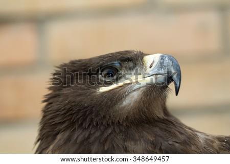 bird eagle - stock photo