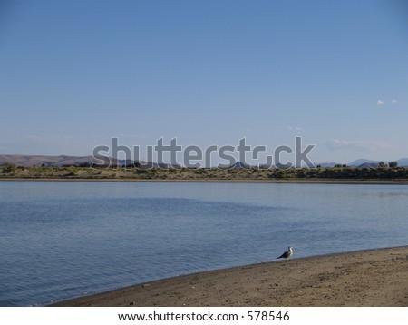 Bird exploring - Lahontan State Park - Silver Springs, NV - stock photo