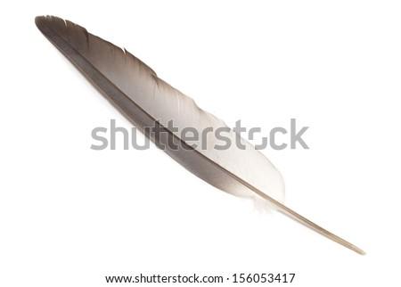 bird feather on white background - stock photo