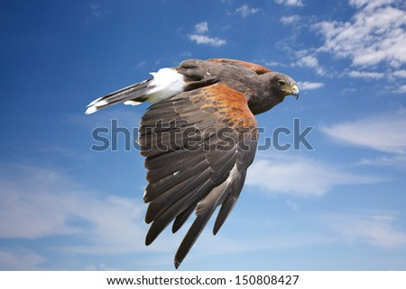bird (harrier hawk or eagle) mid flight - stock photo