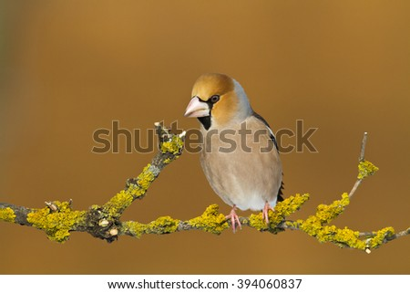 Bird - Hawfinch (Coccothraustes coccothraustes) on orange background. Bird sitting on a branch next to the feeder. Winter time. Male. - stock photo