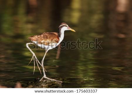Bird in tambopata national park, peru - stock photo