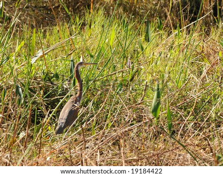 Bird in the Everglades national park - stock photo