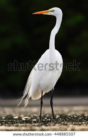 Bird in the water. White heron, Great Egret, Egretta alba, standing in the water in the march. Beach in Florida, USA. Water bird with orange bill in the nature habitat. White animal in the water. - stock photo