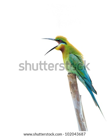 bird isolated (Blue tailed Bee eater) sitting on branch - stock photo