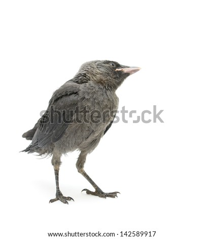 bird isolated on a white background. nestling crows bowed his head and looks up. vertical photo. - stock photo