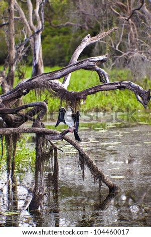 Bird life in Kakadu National Park, Australia  Australian Darter enjoying he morning sun in Yellow Waters Kakadu National Park. - stock photo