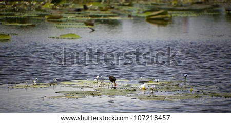 Bird Life of Kakadu National Park, Yellow Waters, billabong, Kakadu National Park, Northern Territory, Australia - stock photo