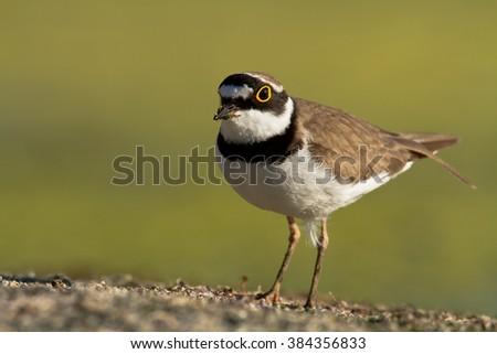 Bird - Little Ringed Plover (Charadrius dubius) - stock photo