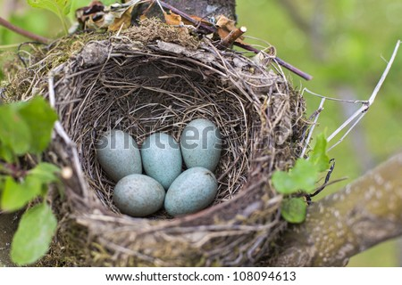 bird nest on tree branch with five blue eggs inside - stock photo
