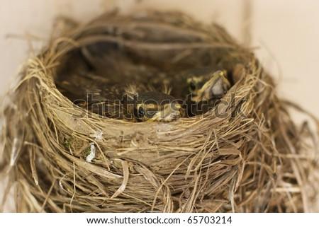 Bird Nest Robin - stock photo