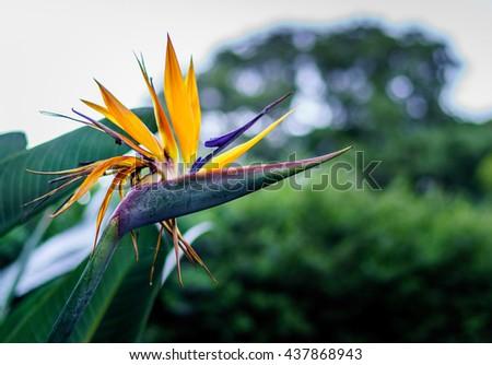 Bird of paradise flower. - stock photo