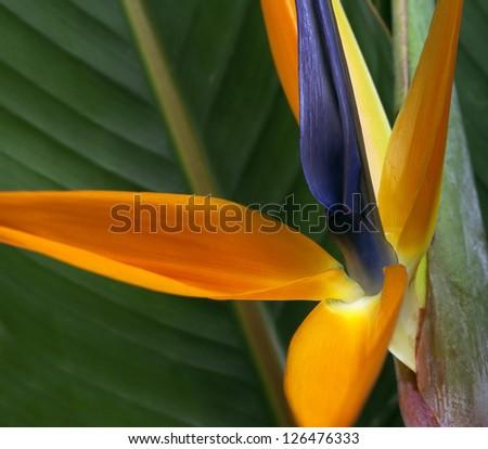 Bird of Paradise Flower background - stock photo
