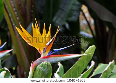 Bird Of Paradise Flower Blooming In Vivid Color - stock photo