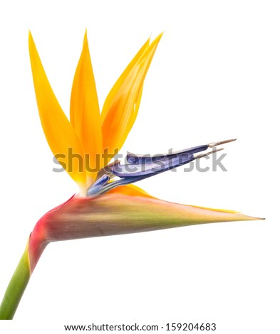 Bird of Paradise Flower Isolated on a White Background, Tropical Flower - stock photo