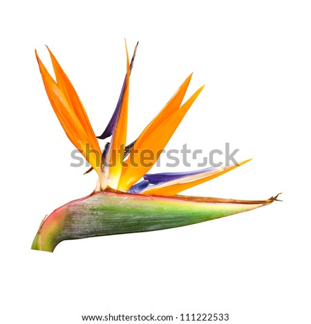 bird of paradise flower  isolated on white background with clipping path - stock photo
