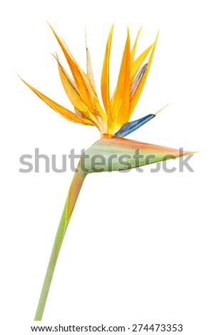 Bird of Paradise Flower on White Background - stock photo