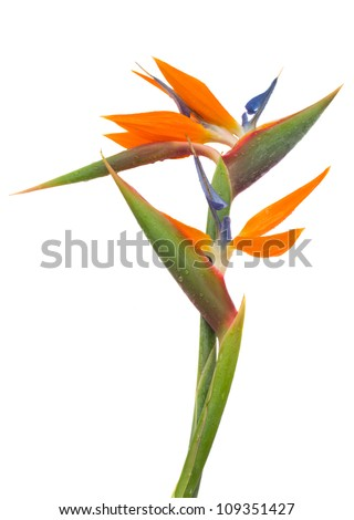 Bird of paradise flower (Strelitzia) isolated on white bacground - stock photo