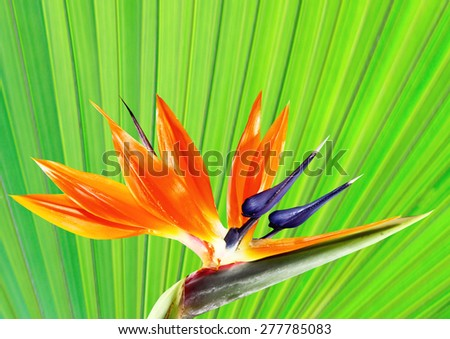 bird of paradise flower with palm leaf background - stock photo